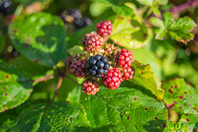 blackberries on the bush ripe and ripening