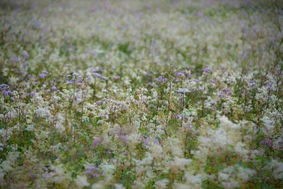 field of meadowsweet flowers
