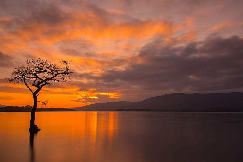 Milarrochy Bay tree by loch Lomond at sunset